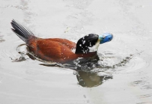Ruddy Duck Drake - 1416