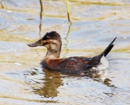 Ruddy Duck duck - 1357