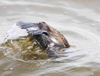 Ruddy Duck duck going fishing - 1348