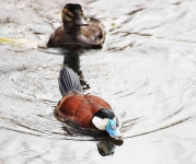 Ruddy Duck pair - 1415