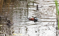Ruddy Duck trio - 1413