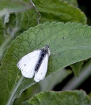Small White Butterfly - 2253