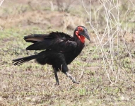 Southern Ground Hornbill-4287