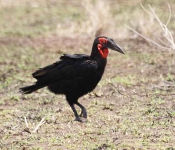 Southern Ground Hornbill-4291