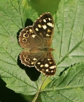 Speckled Wood Butterfly - 1078