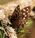 Speckled Wood Butterfly - 8572