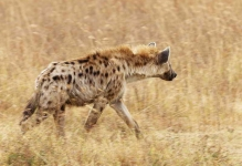 Spotted Hyena-4688