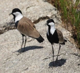 Spur Winged Plover-4470