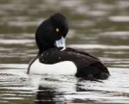 Tufted Duck - 1125