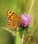 Wall Brown Butterfly - 0346