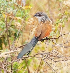 White Browed Coucal-4843