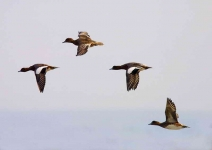 Widgeon in flight - 9529