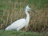 a My 1st ever Little Egret - 2797