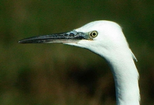 a My 1st ever Little Egret head - 2781