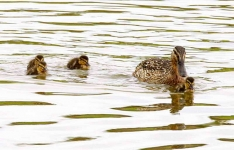 mallard and ducklings - 4389
