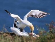 0214 - Gannets mating