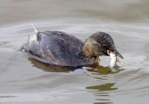 9314 - Dabchick with stickleback