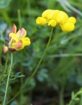 Birds foot trefoil - 3777