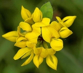 Birds foot trefoil - 4515