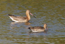 Black Tailed Godwit and chick - 0028