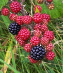 Blackberries - 6957