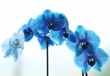 Blue Orchid - 8779