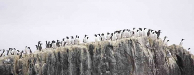 Farne Islands Guillemots - 1370