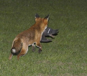 Fox with pigeon - 1951
