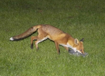 Fox with pigeon - 2016