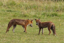 Foxes - 9054
