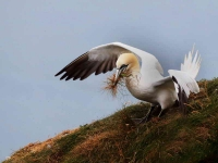 Gannet collecting nest material-a - 6373