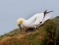Gannet collects nest material - 6372