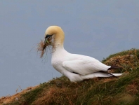 Gannet collects nest material - 6377