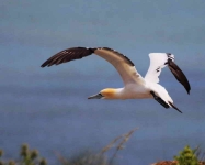 Gannet take off - 6337