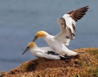 Gannets mating - 6246