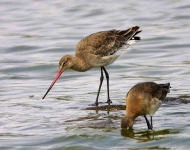 Godwit and chick - 4763