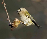 Goldcrest hanging - 5243