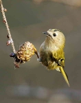Goldcrest hanging - 5244