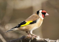 Goldfinch - 0069