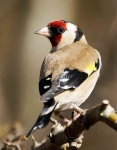 Goldfinch - 0080