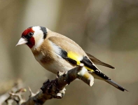 Goldfinch - 0082