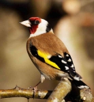 Goldfinch - 0158