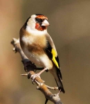 Goldfinch - 0251