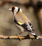 Goldfinch - 0263