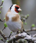 Goldfinch - 0536