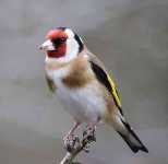 Goldfinch - 0544