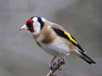 Goldfinch - 0546