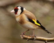 Goldfinch - 0585