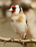 Goldfinch - 0723
