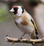 Goldfinch - 0740